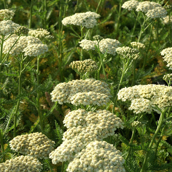 ACHILLEA 'Desert Eve Cream'