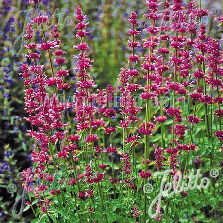 AGASTACHE pallidiflora 'Pink Pop'