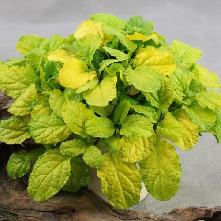 AJUGA reptans 'Gold Chang' ®