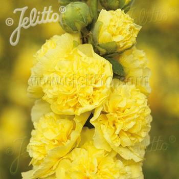 ALCEA rosea Chater's Double jaune