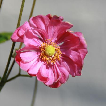 ANEMONE hybrida 'Margarete'