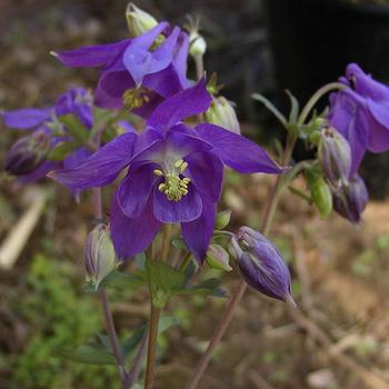 AQUILEGIA alpina