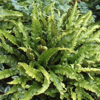 ASPLENIUM scolopendrium 'Cristatum' (Phyllitis)