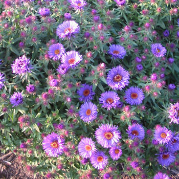 ASTER na 'Purple Dome'