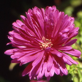 ASTER nb 'The Cardinal'