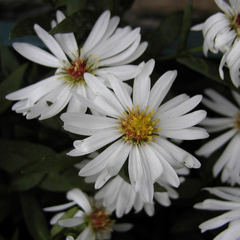 ASTER nb 'White Ladies'