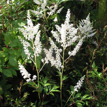 ASTILBE 'Gladstone' (Japonica Group)