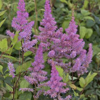 ASTILBE 'Hyazinth' (Arendsii Group)