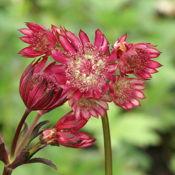 ASTRANTIA major 'Ruby Star' ®