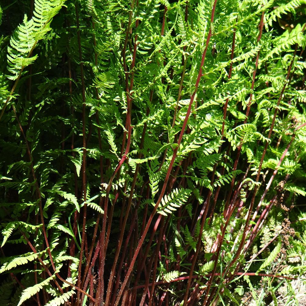 ATHYRIUM filix-femina 'Lady in Red'