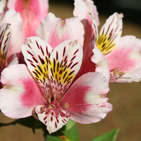 ALSTROEMERIA 'William'