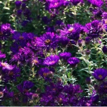 ASTER na 'Helen Picton'
