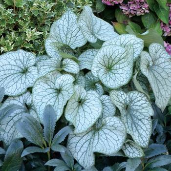 BRUNNERA macrophylla 'Alexander's Great'