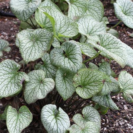 BRUNNERA macrophylla 'Alchemy Pewter' ®