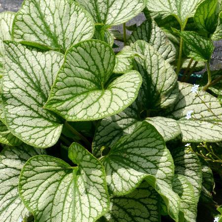 BRUNNERA macrophylla 'Silver Charm' ®