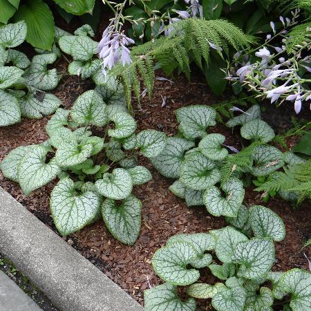 BRUNNERA macrophylla 'Silver Heart' ®