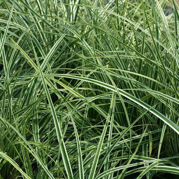 CAREX oshimensis 'Fiwhite'® ('Everest')