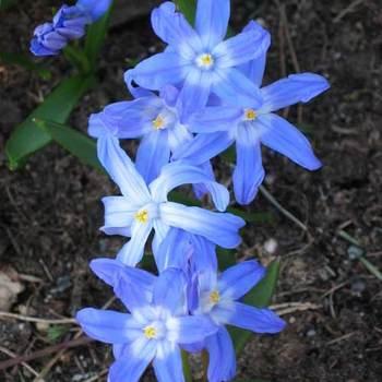 CHIONODOXA forbesii