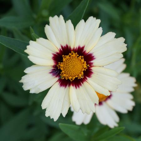 COREOPSIS 'Redshift'