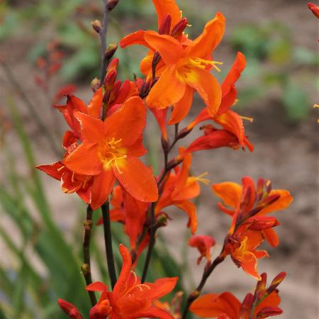CROCOSMIA 'His Majesty'