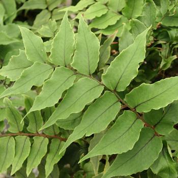 CYRTOMIUM fortunei var. clivicola