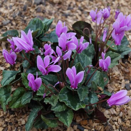 CYCLAMEN hederifolium 'Ivy Ice Rose'