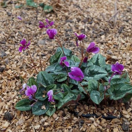 CYCLAMEN hederifolium 'Ivy Ice Purple'