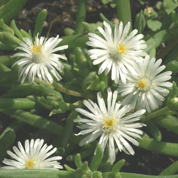 DELOSPERMA 'Jewel of Desert Moon Stone' ®