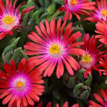DELOSPERMA 'Jewel of Desert Garnet' ®