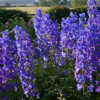DELPHINIUM 'Piccolo' (Belladonna Group)