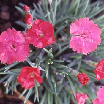 DIANTHUS gratianopolitanus 'Badenia'