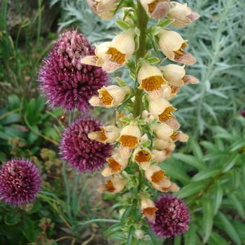 DIGITALIS ferruginea