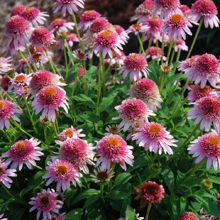 ECHINACEA 'Butterfly Kisses' ®