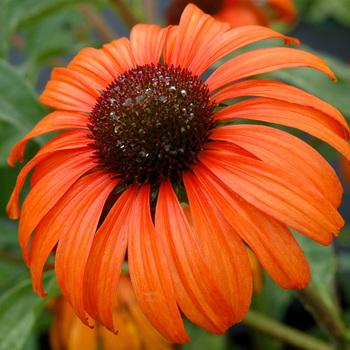 ECHINACEA 'Tangerine Dream' ®