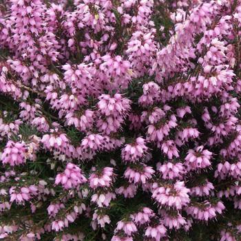 ERICA darleyensis 'Spring Surprise'