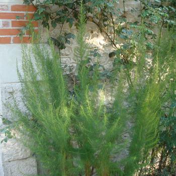 EUPATORIUM capillifolium 'Elegant Plume'