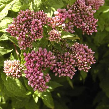 EUPATORIUM cannabinum 'Plenum'
