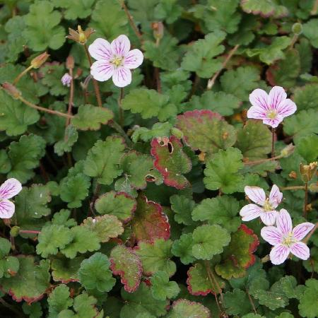 ERODIUM variabile 'Roseum'