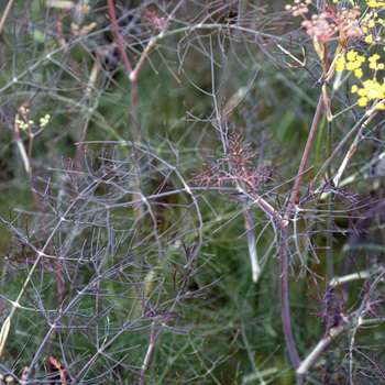 FOENICULUM vulgare 'Purpureum'