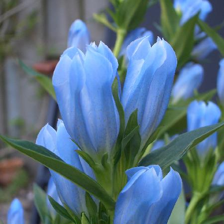 GENTIANA 'Blue Magic' ®