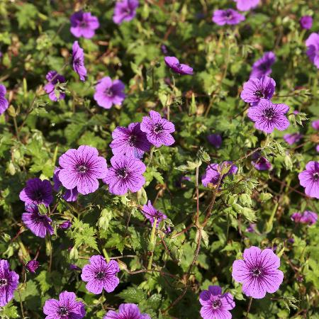 GERANIUM 'Daily Purple'