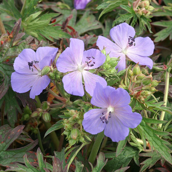 GERANIUM pratense 'New Dimension'
