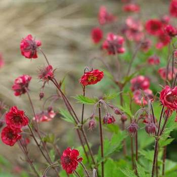 GEUM rivale 'Flames of Passion' ®