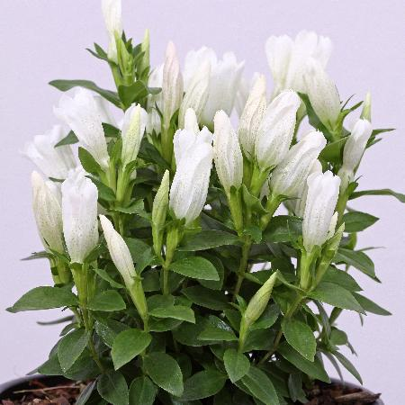 GENTIANA makinoi 'White Magic' ®