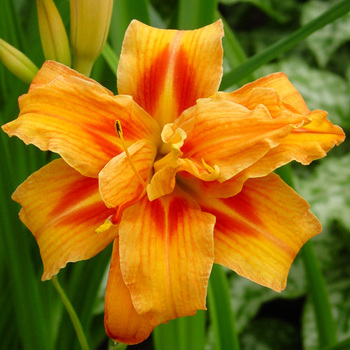 HEMEROCALLIS 'Apricot Beauty'