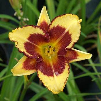 HEMEROCALLIS 'Blueberry Cream'