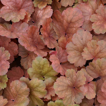 HEUCHERA 'Cherry Cola' ®