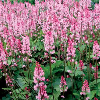 HEUCHERELLA 'Dayglow Pink' ®