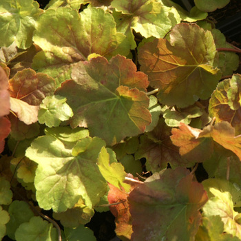 HEUCHERA 'Miracle' ®