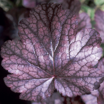 HEUCHERA 'Plum Pudding' ®